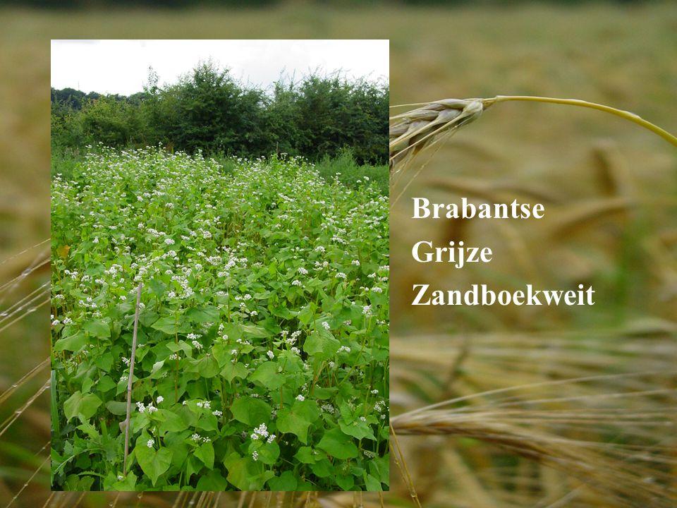 Brabantse Grijze Zandboekweit