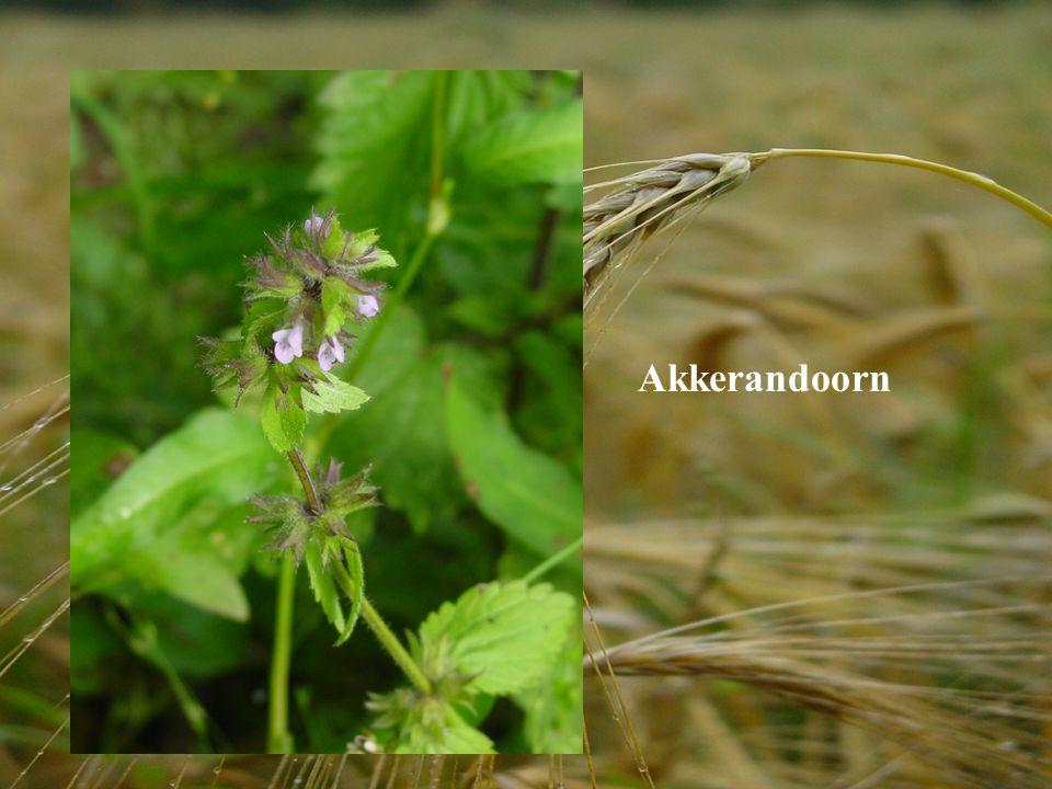 Akkerandoorn