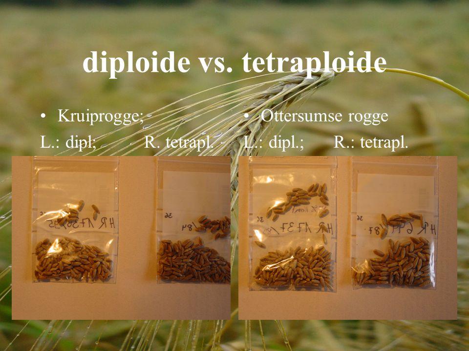 diploide vs. tetraploide Kruiprogge; L.: dipl; R. tetrapl. Ottersumse rogge L.: dipl.; R.: tetrapl.