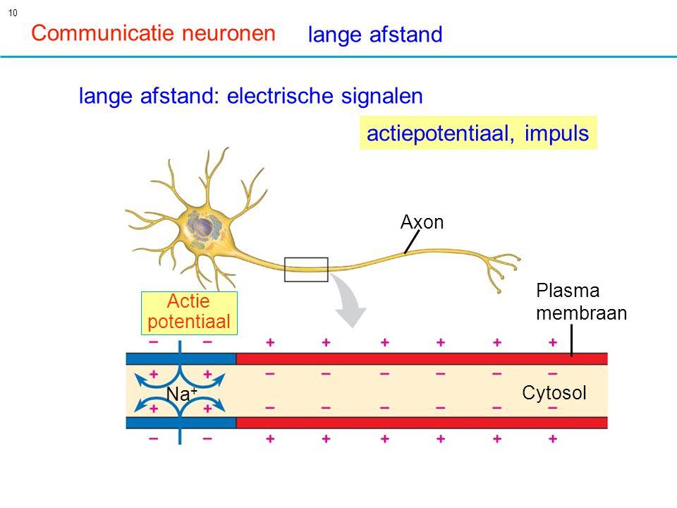 10 Axon Plasma membraan Cytosol Actie potentiaal Na + Communicatie neuronen lange afstand: electrische signalen lange afstand actiepotentiaal, impuls