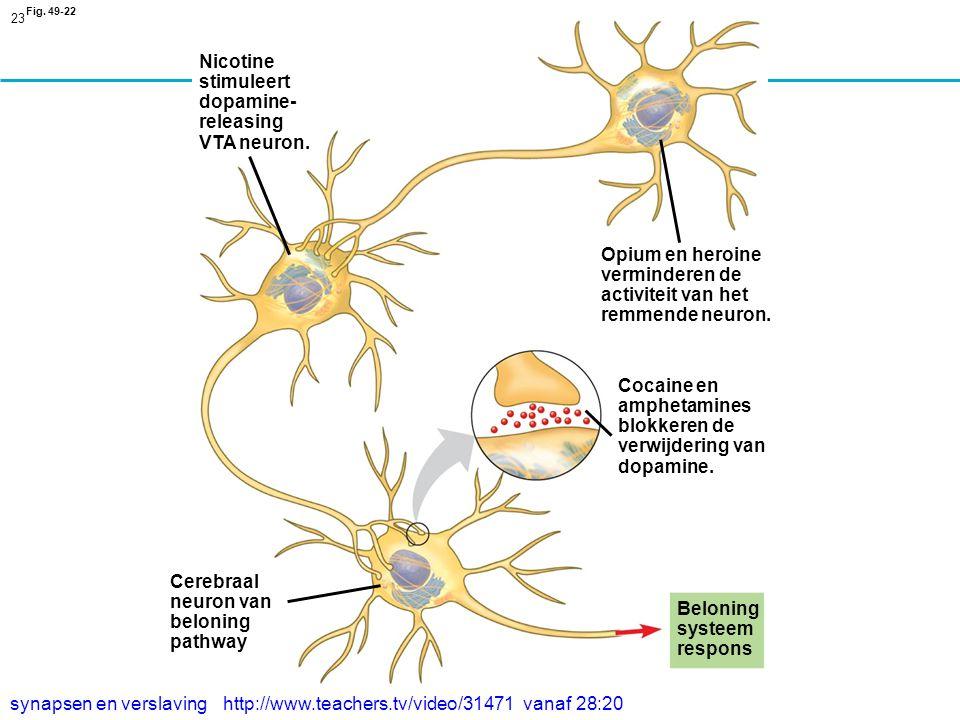23 Fig.49-22 Nicotine stimuleert dopamine- releasing VTA neuron.