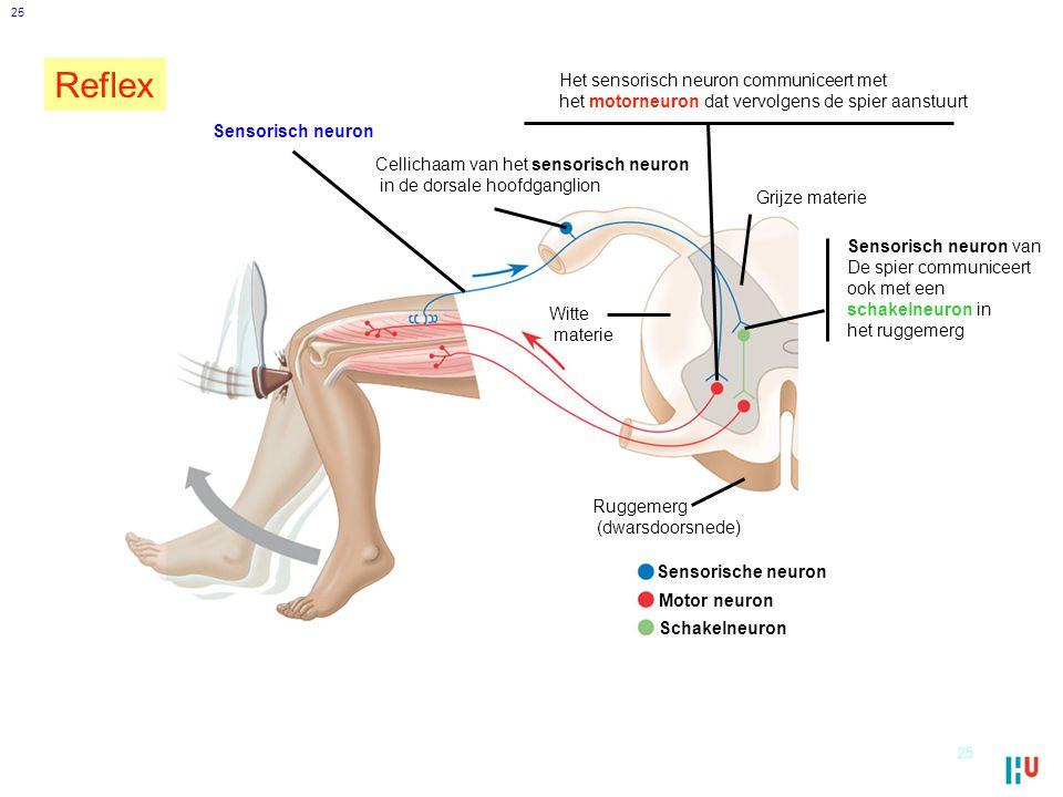 25 Sensorisch neuron van De spier communiceert ook met een schakelneuron in het ruggemerg Het sensorisch neuron communiceert met het motorneuron dat vervolgens de spier aanstuurt Sensorisch neuron Ruggemerg (dwarsdoorsnede) Grijze materie Witte materie Cellichaam van het sensorisch neuron in de dorsale hoofdganglion Sensorische neuron Motor neuron Schakelneuron 25 Reflex