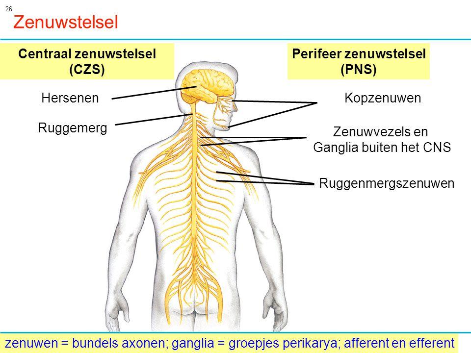 26 Centraal zenuwstelsel (CZS) Perifeer zenuwstelsel (PNS) Hersenen Ruggemerg Kopzenuwen Ruggenmergszenuwen Zenuwvezels en Ganglia buiten het CNS Zenuwstelsel zenuwen = bundels axonen; ganglia = groepjes perikarya; afferent en efferent