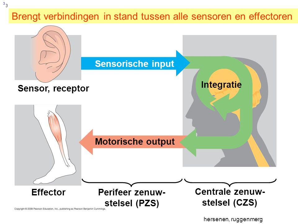 3 Sensor, receptor Sensorische input Integratie Effector Motorische output Perifeer zenuw- stelsel (PZS) Centrale zenuw- stelsel (CZS) Brengt verbindingen in stand tussen alle sensoren en effectoren 3 hersenen, ruggenmerg