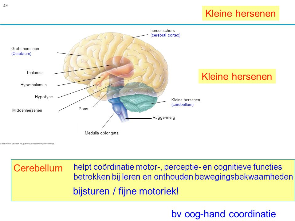 49 Cerebellum helpt coördinatie motor-, perceptie- en cognitieve functies betrokken bij leren en onthouden bewegingsbekwaamheden Grote hersenen Thalamus Hypothalamus Hypofyse hersenschors (cerebral cortex) Middenhersenen Pons Medulla oblongata Kleine hersenen (cerebellum) Rugge-merg (Cerebrum) Kleine hersenen bv oog-hand coordinatie bijsturen / fijne motoriek!