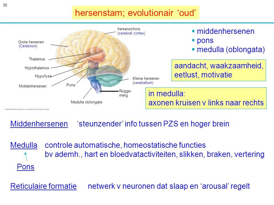 50 Medulla 'steunzender' info tussen PZS en hoger brein Reticulaire formatienetwerk v neuronen dat slaap en 'arousal' regelt in medulla: axonen kruisen v links naar rechts controle automatische, homeostatische functies bv ademh., hart en bloedvatactiviteiten, slikken, braken, vertering hersenstam; evolutionair 'oud' aandacht, waakzaamheid, eetlust, motivatie Grote hersenen Thalamus Hypothalamus Hypofyse hersenschors (cerebral cortex) Middenhersenen Pons Medulla oblongata Kleine hersenen (cerebellum) Rugge- merg (Cerebrum)  middenhersenen  pons  medulla (oblongata) Middenhersenen Pons