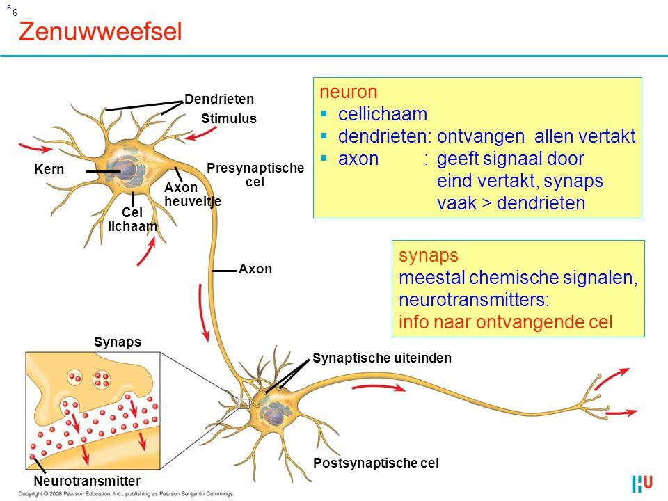 6 Zenuwweefsel Dendrieten Stimulus Kern Cel lichaam Axon heuveltje Presynaptische cel Axon Synaptische uiteinden Synaps Postsynaptische cel Neurotransmitter neuron  cellichaam  dendrieten:ontvangen allen vertakt  axon :geeft signaal door eind vertakt, synaps vaak > dendrieten synaps meestal chemische signalen, neurotransmitters: info naar ontvangende cel 6