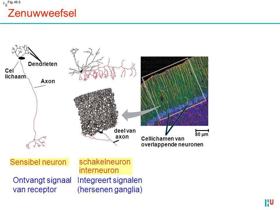 9 Motor neuron Stuurt signaal naar effector (spier, klier) Zenuwweefsel Fig.