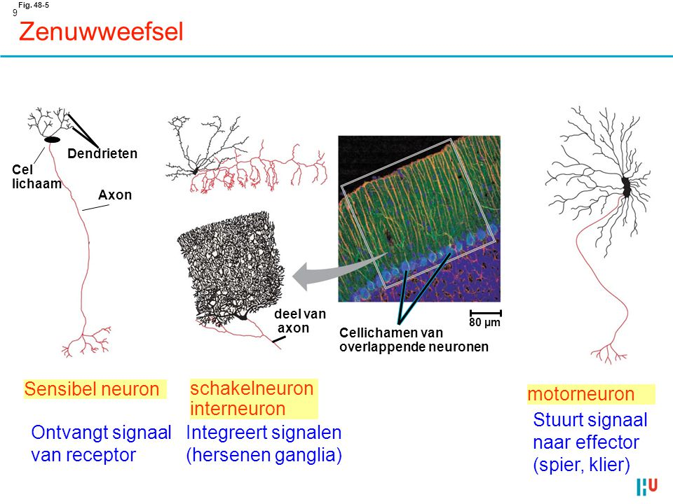 30 Zenuwstelsel Perifere zenuwstelsel  efferente neuronen  afferente neuronen somatisch systeem autonome systeem • brengt signalen naar en van skeletspieren • vnl respons op externe stimuli • vaak oiv wil • echter ook: hersenstam en ruggemerg (reflexen) !!!!.