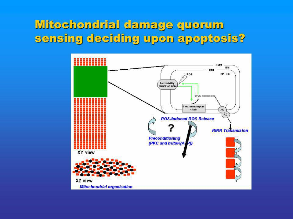 Mitochondrial damage quorum sensing deciding upon apoptosis.