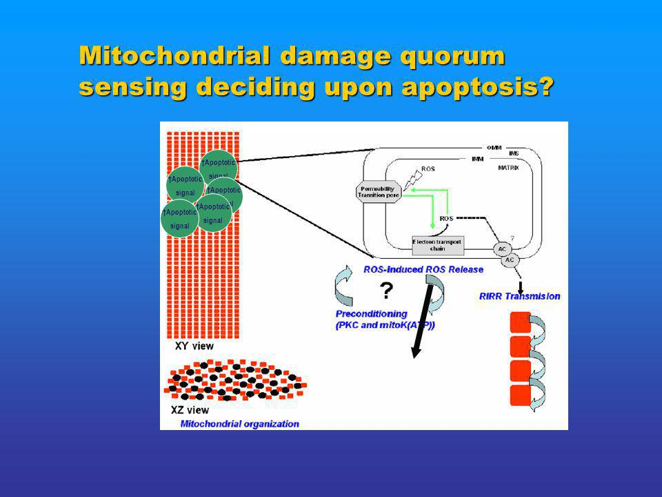 Mitochondrial damage quorum sensing deciding upon apoptosis