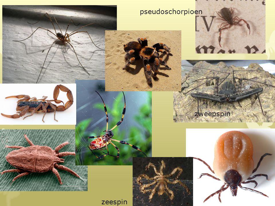zweepspin pseudoschorpioen zweepspin zeespin