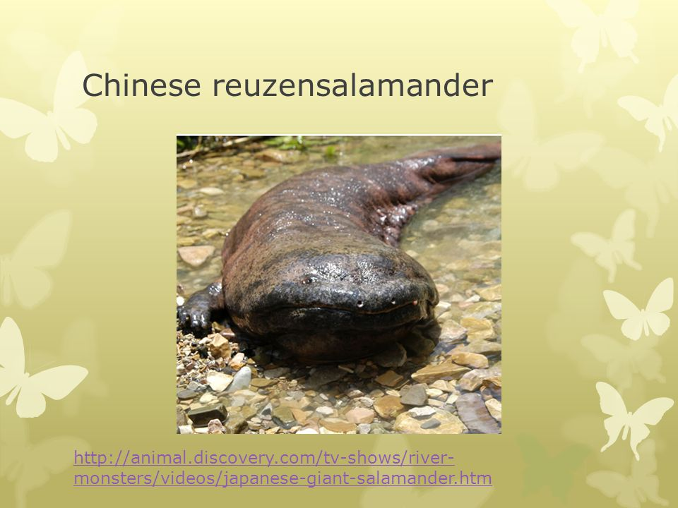 Chinese reuzensalamander http://animal.discovery.com/tv-shows/river- monsters/videos/japanese-giant-salamander.htm