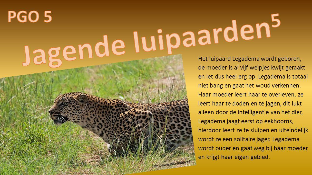 Het luipaard Legadema wordt geboren, de moeder is al vijf welpjes kwijt geraakt en let dus heel erg op.