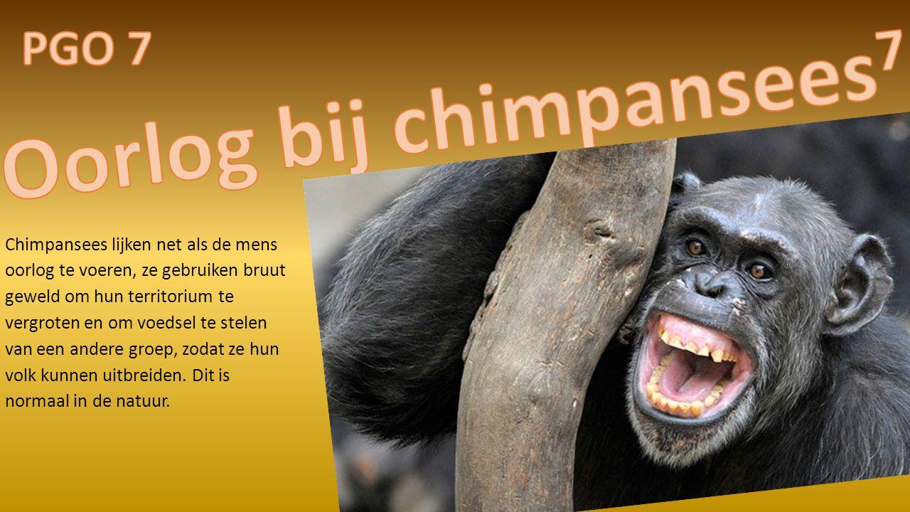 Chimpansees lijken net als de mens oorlog te voeren, ze gebruiken bruut geweld om hun territorium te vergroten en om voedsel te stelen van een andere groep, zodat ze hun volk kunnen uitbreiden.