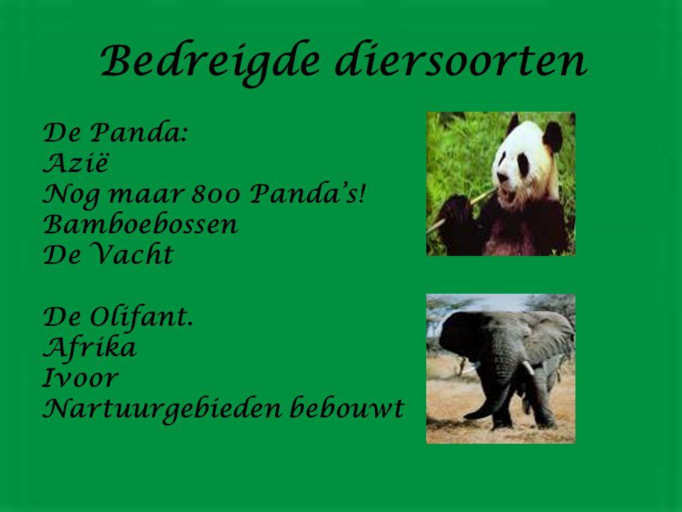 Bedreigde diersoorten De Panda: Azië Nog maar 800 Panda's.