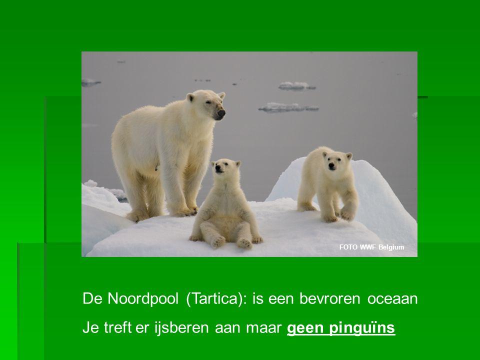 De Noordpool (Tartica): is een bevroren oceaan Je treft er ijsberen aan maar geen pinguïns FOTO WWF Belgium