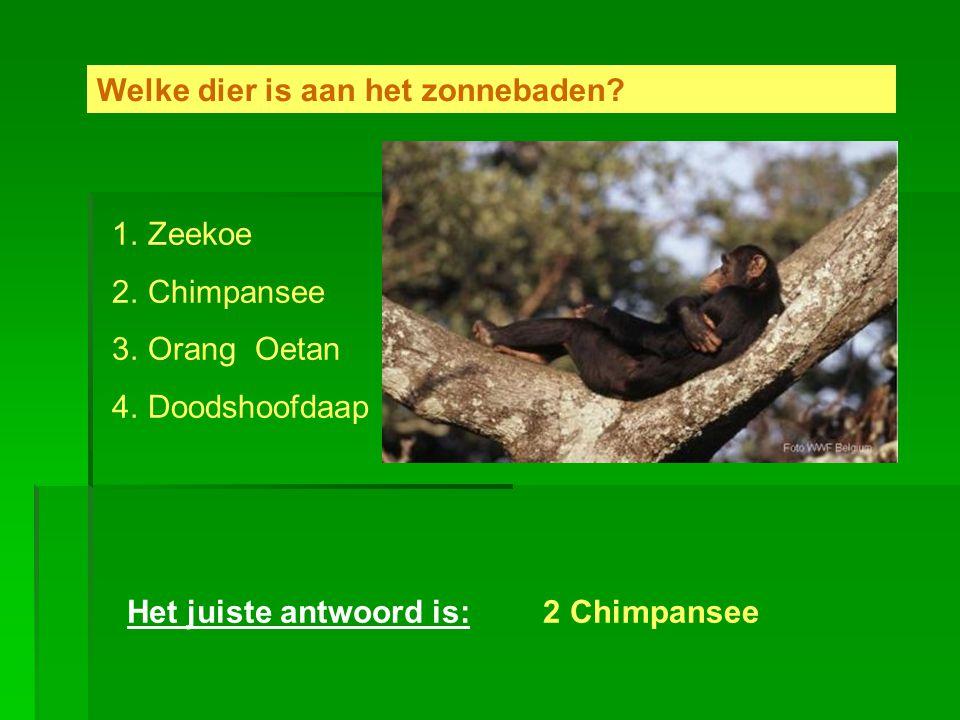 Welke dier is aan het zonnebaden? 1.Zeekoe 2.Chimpansee 3.Orang Oetan 4.Doodshoofdaap Het juiste antwoord is:2 Chimpansee