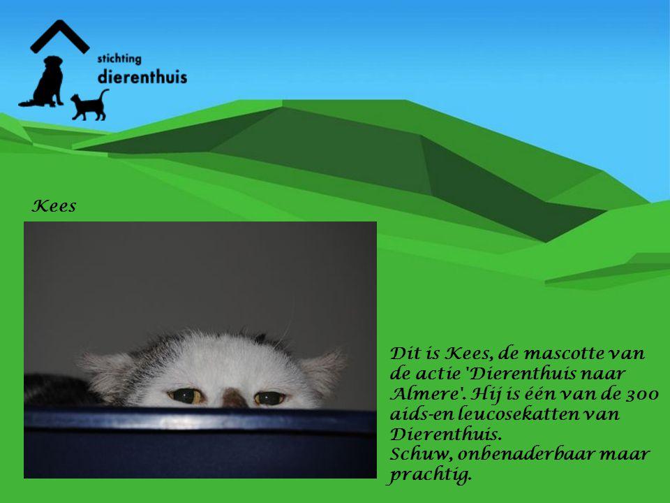 Dit is Kees, de mascotte van de actie 'Dierenthuis naar Almere'. Hij is één van de 300 aids-en leucosekatten van Dierenthuis. Schuw, onbenaderbaar maa