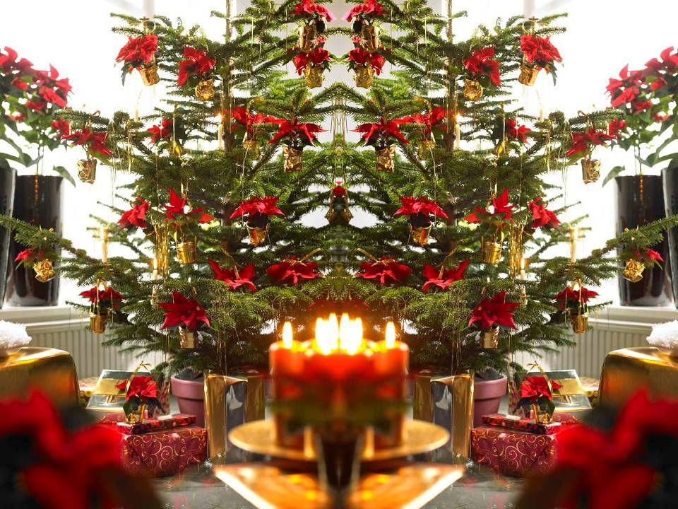 Promotie richting bloemist: •Presentaties bij 4 C&C's (waaronder Waterdrinker)  van 8/11 tot 25/11 •Beschikbare fotografie beschikbaar voor bloemistenvakbladen •Oproep via nieuwsbrief om Poinsettia's in de spotlights te zetten •Volop aandacht voor Poinsettia's: www.flowercouncil.org/nl www.flowercouncil.org/nl