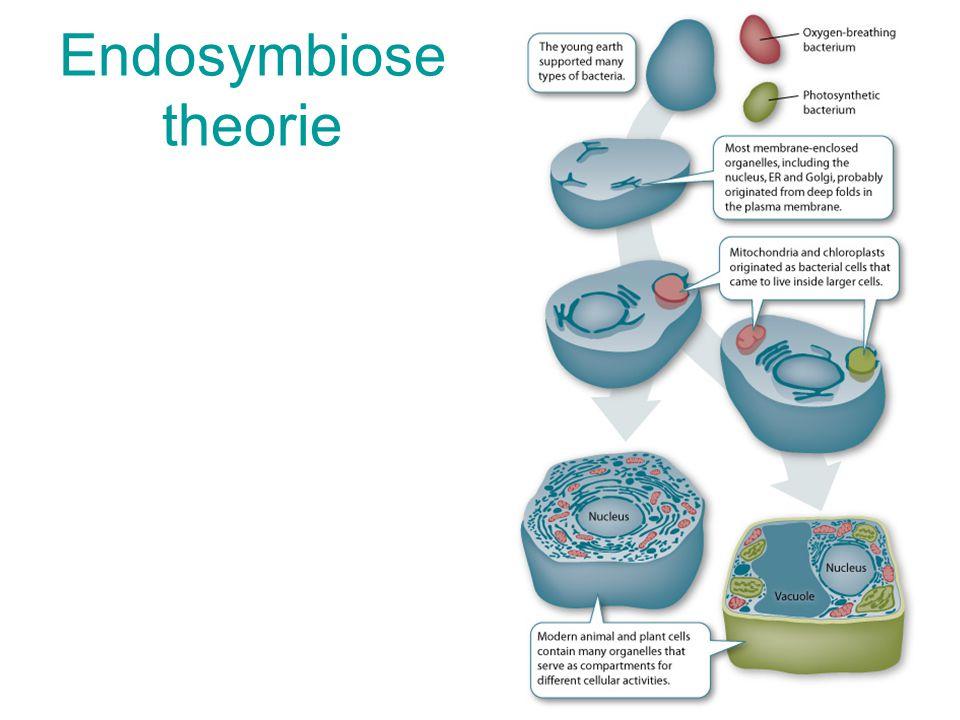 Van ééncellig naar meercellig Eerste ééncellige levensvormen = 3,5 miljard jaar 6CO 2 + 6H 2 O → C 6 H 12 O 6 + 6O 2 fotosynthese Radicale atmosfeerve