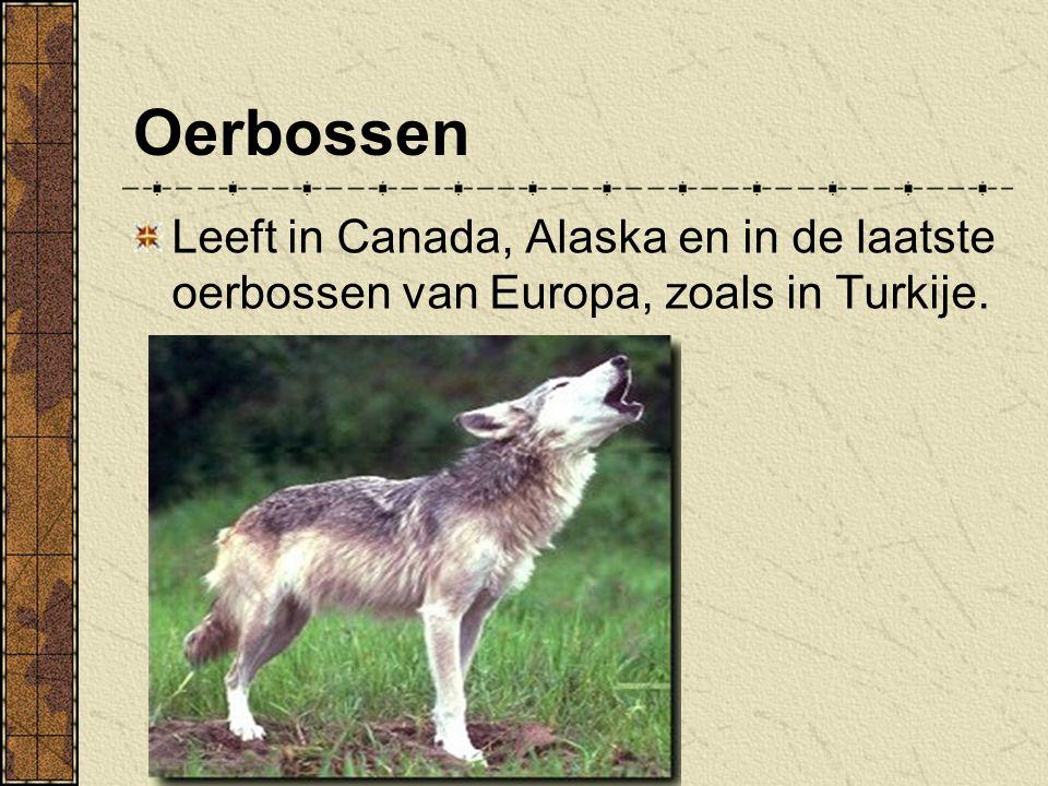 Oerbossen leeft in de bossen van Noord-Amerika