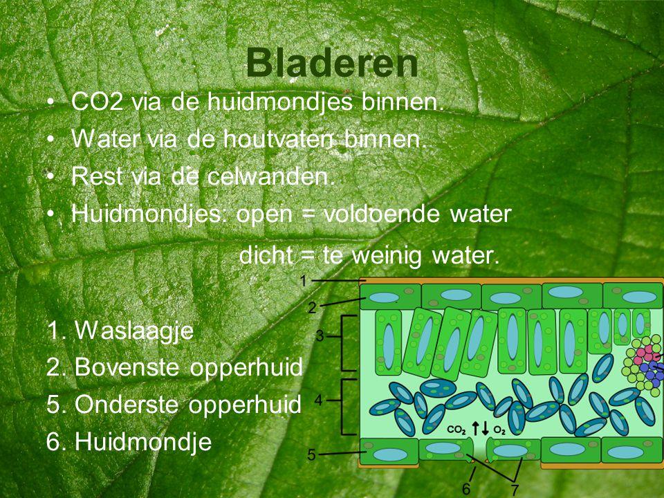 Bladeren •CO2 via de huidmondjes binnen. •Water via de houtvaten binnen. •Rest via de celwanden. •Huidmondjes: open = voldoende water dicht = te weini