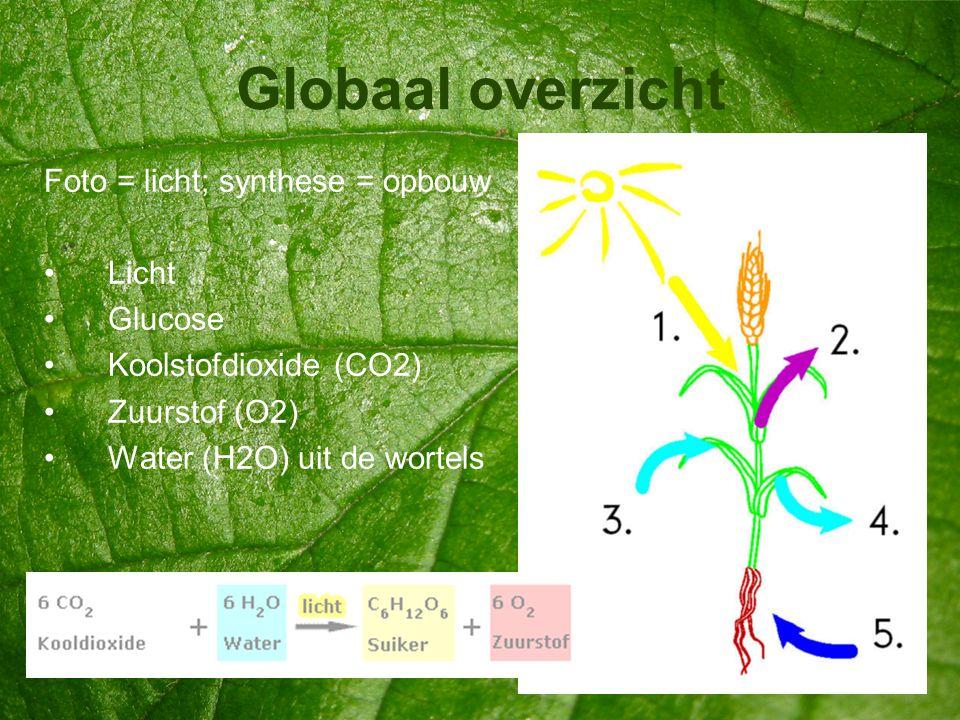 Globaal overzicht Foto = licht; synthese = opbouw •Licht •Glucose •Koolstofdioxide (CO2) •Zuurstof (O2) •Water (H2O) uit de wortels