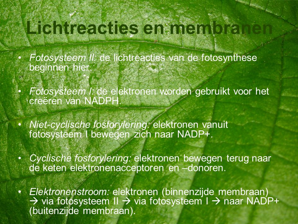 Lichtreacties en membranen •Fotosysteem II: de lichtreacties van de fotosynthese beginnen hier. •Fotosysteem I: de elektronen worden gebruikt voor het