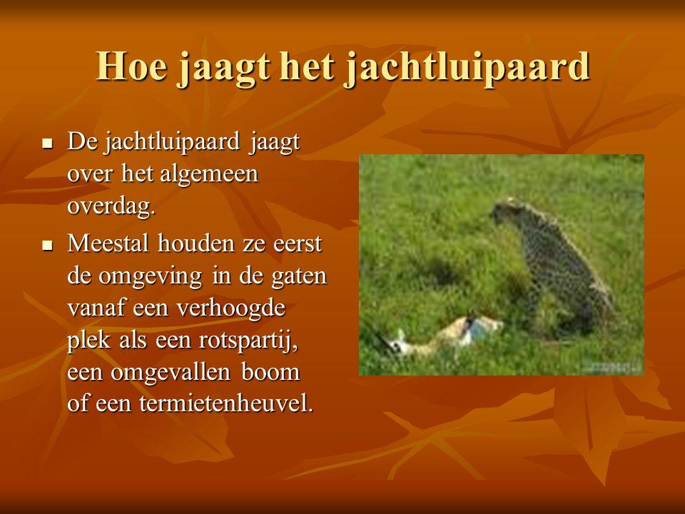 Hoe jaagt het jachtluipaard DDDDe jachtluipaard jaagt over het algemeen overdag. MMMMeestal houden ze eerst de omgeving in de gaten vanaf een