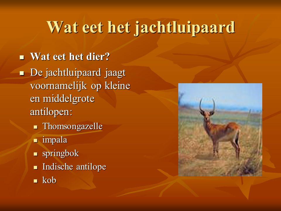 Wat eet het jachtluipaard  Wat eet het dier?  De jachtluipaard jaagt voornamelijk op kleine en middelgrote antilopen:  Thomsongazelle  impala  sp