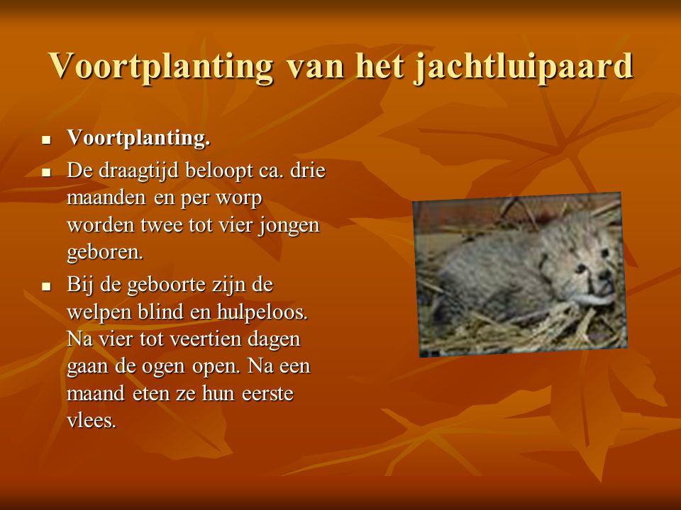 Voortplanting van het jachtluipaard  Voortplanting.  De draagtijd beloopt ca. drie maanden en per worp worden twee tot vier jongen geboren.  Bij de