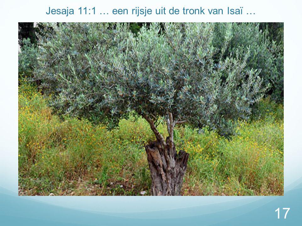 Jesaja 11:1 … een rijsje uit de tronk van Isaï … 17