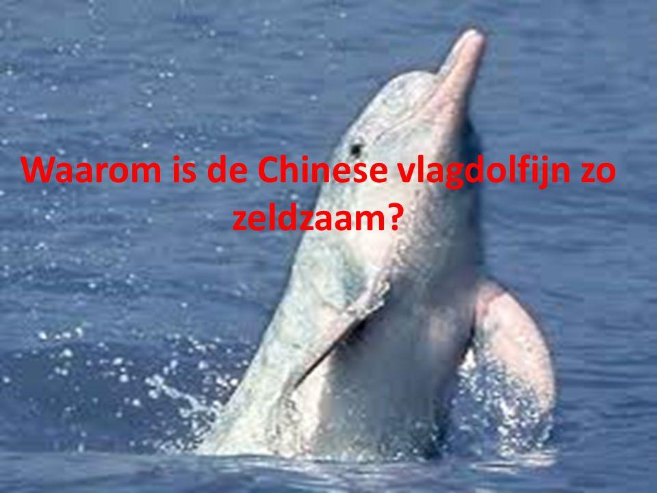 Waarom is de Chinese vlagdolfijn zo zeldzaam?