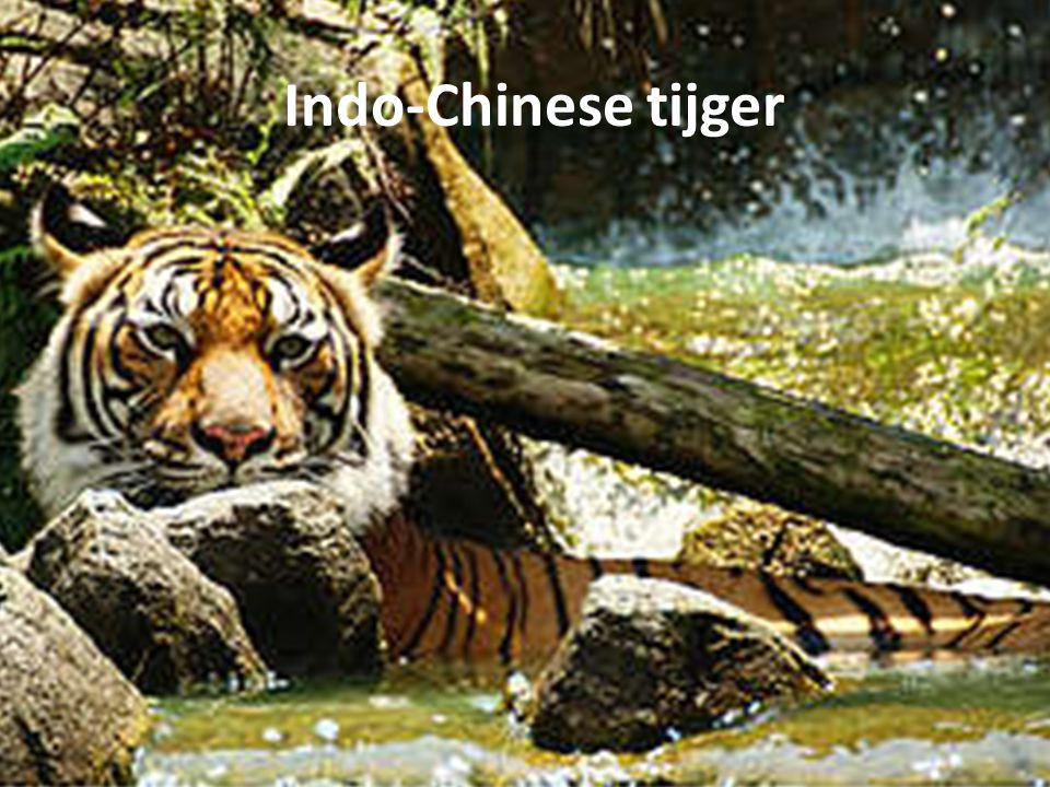 Algemene informatie over de Indo- Chinese tijger Andere namenAchterindische tijger Wetenschappelijke naamPanthera tigris corbetti Engelse naamIndo-Chinese tiger LeefgebiedZuidoost-Azië VoedselZwijnen, herten, runderen LengteTot 2,6 m (zonder staart) Gewicht Tot 180 kg
