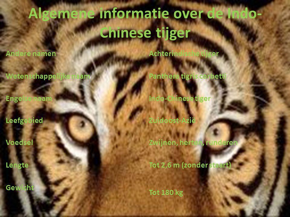 Algemene informatie over de Indo- Chinese tijger Andere namenAchterindische tijger Wetenschappelijke naamPanthera tigris corbetti Engelse naamIndo-Chi
