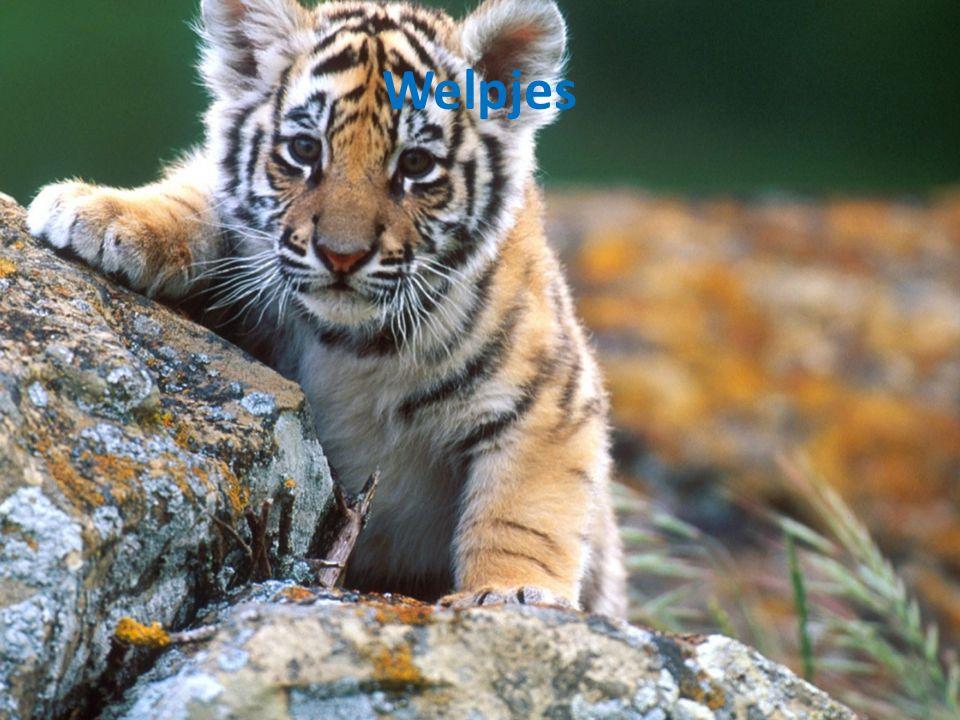 Waarom is de Indo-Chinese tijger zo zeldzaam?