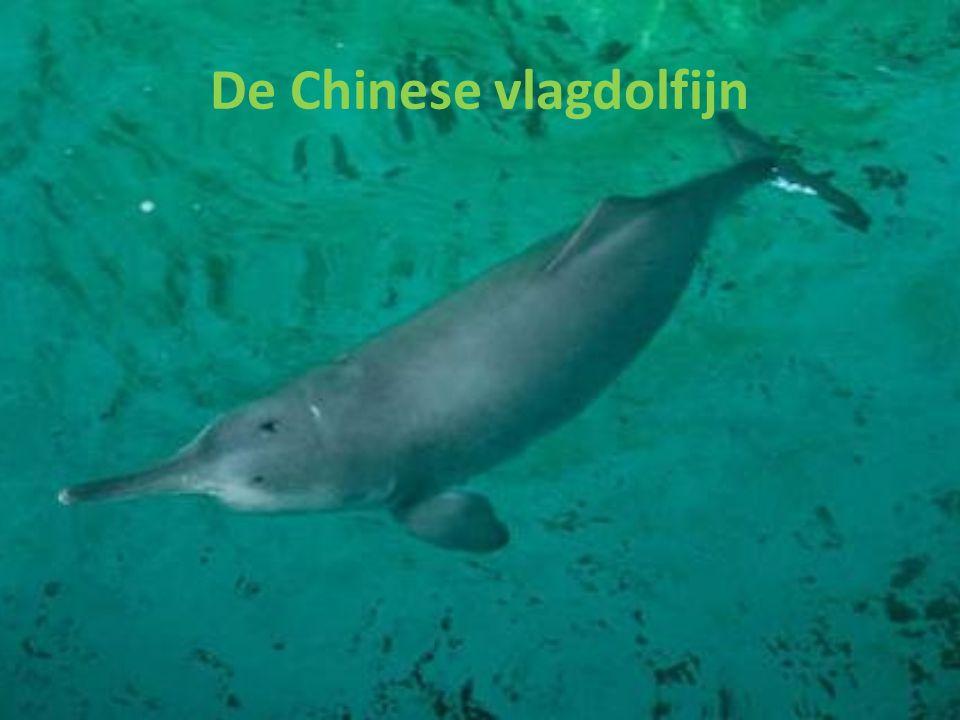 Algemene informatie over de Chinese vlagdolfijn Andere namenbaiji WetenschappelijkLipotes vexillifer EngelsBaiji en Chinese river dolphin VerspreidingYangtze rivier in China VoedselPaling en meerval achtige vissen Leeftijdzeker 30 jaar Lengte1,4 - 2,5 m, en bij geboorte 80 - 90 cm Gewicht100 - 160 kg en bij geboorte 2,5 - 5 kg Hoeveel zijn er nog?Misschien uitgestorven De mannetjes zijn kleiner dan de vrouwtjes