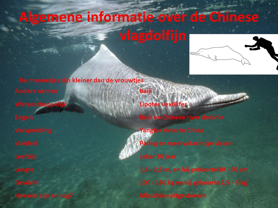 Algemene informatie over de Chinese vlagdolfijn Andere namenbaiji WetenschappelijkLipotes vexillifer EngelsBaiji en Chinese river dolphin Verspreiding