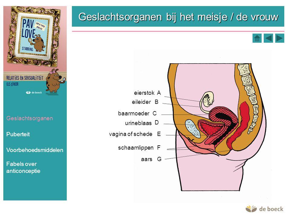 Geslachtsorganen bij het meisje / de vrouw Geslachtsorganen Puberteit Voorbehoedsmiddelen Aeierstok B C D E F G eileider baarmoeder urineblaas vagina