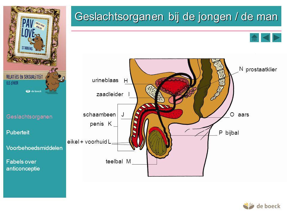 Geslachtsorganen bij de jongen / de man Geslachtsorganen Puberteit Voorbehoedsmiddelen H I K H N L M O P J urineblaas zaadleider schaambeen penis eike