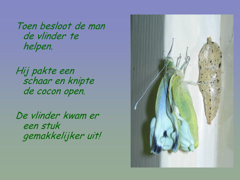 Toen besloot de man de vlinder te helpen. Hij pakte een schaar en knipte de cocon open. De vlinder kwam er een stuk gemakkelijker uit!