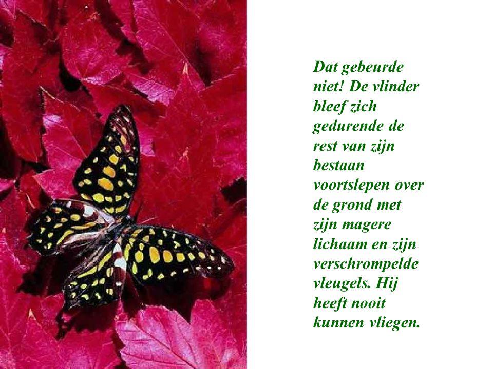 Dat gebeurde niet! De vlinder bleef zich gedurende de rest van zijn bestaan voortslepen over de grond met zijn magere lichaam en zijn verschrompelde v