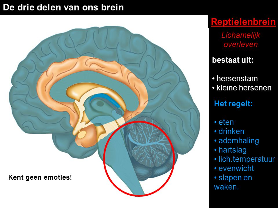 De drie delen van ons brein Reptielenbrein bestaat uit: • hersenstam • kleine hersenen Het regelt: • eten • drinken • ademhaling • hartslag • lich.tem