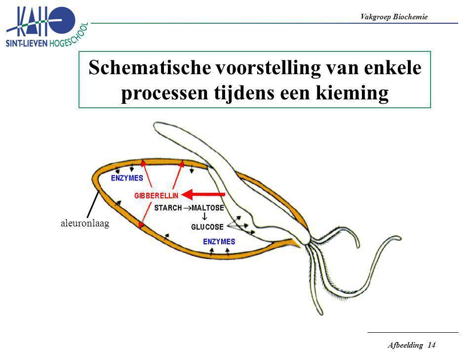 Vakgroep Biochemie Afbeelding 14 Schematische voorstelling van enkele processen tijdens een kieming aleuronlaag