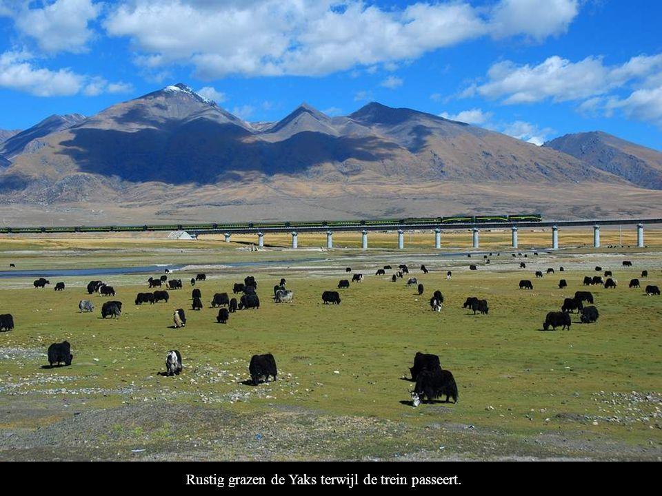 Rustig grazen de Yaks terwijl de trein passeert.