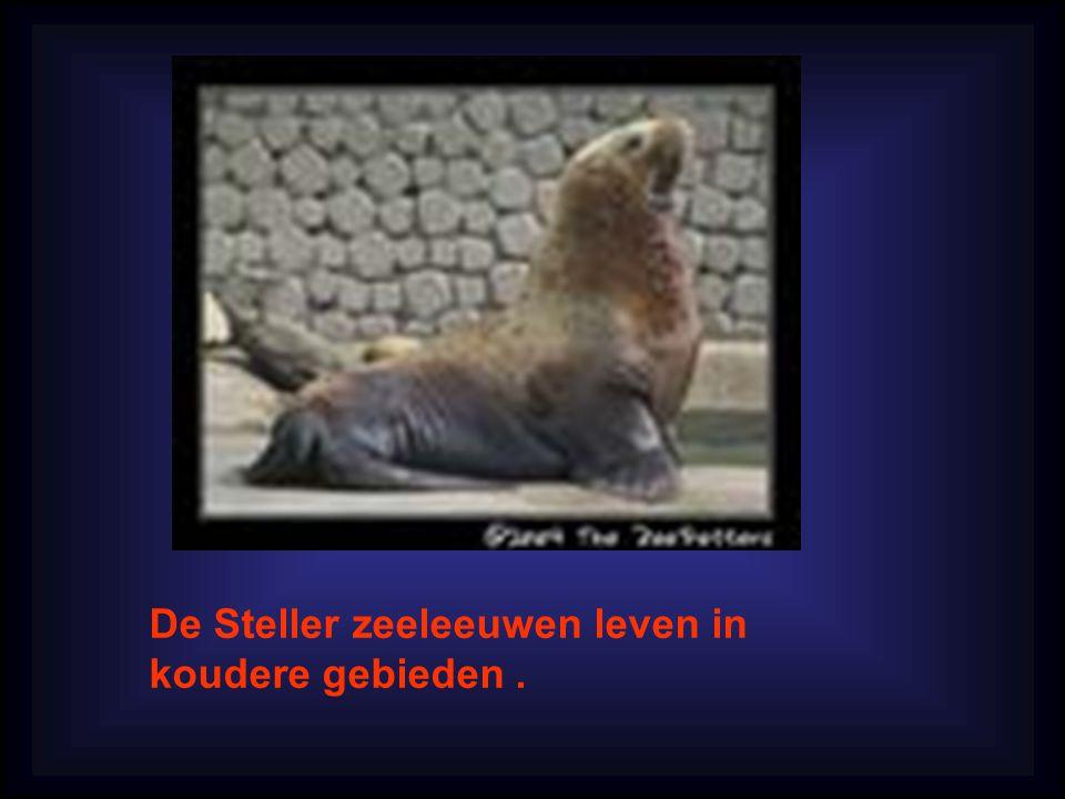 De Steller zeeleeuwen leven in koudere gebieden.