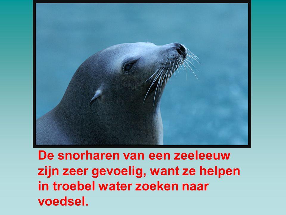 De snorharen van een zeeleeuw zijn zeer gevoelig, want ze helpen in troebel water zoeken naar voedsel.