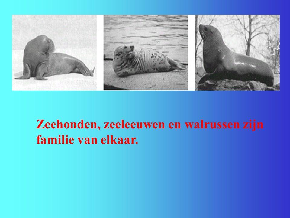 Zeehonden, zeeleeuwen en walrussen zijn familie van elkaar.
