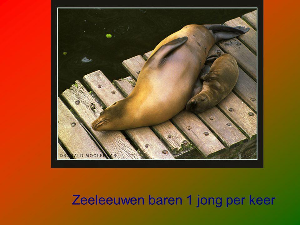 Zeeleeuwen baren 1 jong per keer